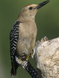 Male Gila Woodpecker (Melanerpes Uropygialis), Arizona Photographic Print by Steve Maslowski