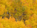 Aspens, Populus Tremuloides, in their Autumn Glory. Western USA Photographic Print by Don Grall