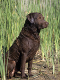 Chesapeake Bay Retriever Sitting by Reeds Lámina fotográfica por Cheryl Ertelt