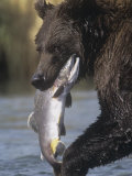 Brown or Grizzly Bear Eating a Salmon, Ursus Arctos, Katmai National Park, Alaska, USA Photographic Print by Charles McRae
