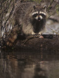 Raccoon, Procyon Lotor, Eating a Trout Caught in a Forest Stream, North America Photographic Print by Joe McDonald