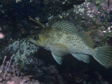 Kelp Rockfish, Sebastes Atrovirens, California, USA Photographic Print by Daniel Gotshall