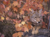 Coyote Hunting from a Sheltered Site Among Fall Leaves (Canis Latrans), North America Photographic Print by Tom Walker