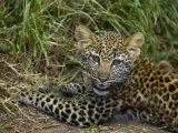 African Leopard Cub, Panthera Pardus, Masai Mara Game Reserve, Kenya, Africa Photographic Print by Joe McDonald