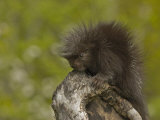 Common Porcupine Juvenile, Erethizon Dorsatum, North America Photographic Print by Jack Michanowski