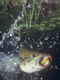 Largemouth Bass, Surface Lure Photographic Print by Wally Eberhart
