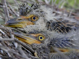 Close-Up of Two Yellow-Crowned Night Heron Chicks, Nyctanassa Violacea, Southern USA Photographic Print by Arthur Morris
