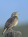 Western Meadowlark Singing (Sturnella Neglecta), North America Photographic Print by Steve Maslowski