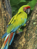 Great Green Macaw (Ara Ambigua), Costa Rica, Central America Photographic PrintKent Foster