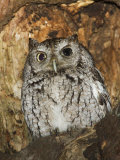 An Eastern Screech Owl, Otus Asio, in a Nest Hole Photographic Print by John Cornell