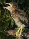 Young Green Heron, Butorides Virescens, Calling, Southern USA Photographic Print by John Cornell