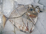 Fossil Angelfish (Mene Rhombea), Eocene Epoch, 67 M.Y.A., Monte Bolca, Italy Photographic Print by Ken Lucas