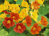 Nasturtium Flower Color Varieties, Tropaeolum, USA Photographic Print by Adam Jones
