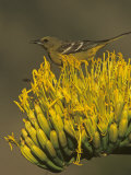 Female Scott's Oriole on Agave Blossom (Icterus Parisorum), Western North America Photographie par Steve Maslowski