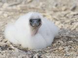 Nazca Booby Chick, Sula Granti, Tower Island, Galapagos, Ecuador Photographie par Arthur Morris