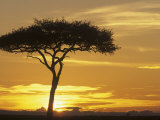 Acacia Tree Silhouetted at Twilight on the Savanna, Kenya, Africa Photographic Print by Adam Jones