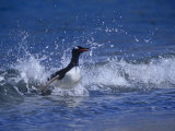 Gentoo Penguin, Pygoscelis Papua, Emerging onto Land from the Surf, Falkland Islands Photographic Print by Joe McDonald