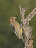 Male Gila Woodpecker, Melanerpes Uropygialis, Arizona Photographic Print by Charles Melton