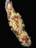 Nudibranch Fotografie-Druck von Solvin Zankl