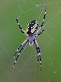 Black and Yellow Argiope, Argiope Aurantia in Web, Wisconsin Photographic Print by Adam Jones