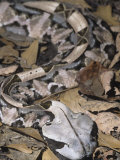 Gaboon Viper Showing Protective Coloration in Leaf Litter, Bitis Gabonica, Central Africa Photographic Print by Adam Jones