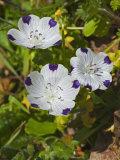 Fivespot, Nemophila Maculata, Cherry Creek, Sonoma County, California Photographic Print by Gerald & Buff Corsi