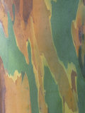 Close-Up of Variegated Rainbow Eucalyptus Tree Bark, Eucalyptus Deglupta, Australia Photographic Print by Beth Davidow