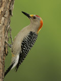 Male Golden-Fronted Woodpecker, Melanerpes Aurifrons, Texas, USA Photographic Print by John Cornell
