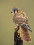 Female American Kestrel, Falco Sparverius, North America Photographic Print by Adam Jones