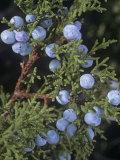 Utah Juniper Leaves and Cones (Juniperus Osteosperma), Southwestern North America Photographic Print by Jana Jirak