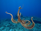 Day Octopus (Octopus Cyanea), Hawaii, USA Photographic Print by David Fleetham