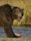 Brown Bear Feeding on Salmon, Katmai National Park, Alaska, USA Photographic Print by Arthur Morris