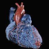 Resin Cast of Heart Anterior View Photographic Print by Ralph Hutchings