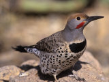 Gilded Flicker, Colaptes Chrysoides, Arizona, USA Photographic Print by Gary Meszaros