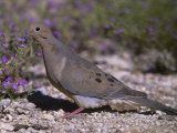 Mourning Dove Browsing on the Ground (Zenaida Macroura), North America Photographic Print by Steve Maslowski