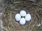 Eastern Phoebe Nest with Four Eggs (Sayornis Phoebe), Eastern North America Fotografisk trykk av Wally Eberhart