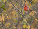Northern Cardinal (Cardinalis Cardinalis) Male Photographic Print by Jack Michanowski