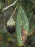 Sand Live Oak Leaf and Acorn, Quercus Geminata, Eastern North America Photographic Print by David Sieren