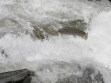 Rainbow Trout (Oncorhynchus Mykiss) Jumping Out of the Water Fotografie-Druck von Robert Servrancky