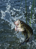 Largemouth Bass and Spinnerbait Photographic Print by Wally Eberhart