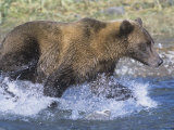 Brown or Grizzly Bear Chasing Salmon Prey in a River (Ursus Arctos), Alaska, USA Photographic Print by Tom Walker