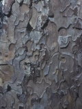 Bark of the Sugar Pine, Pinus Lambertiana, California, USA Photographic Print by John & Barbara Gerlach