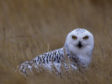 Female Snowy Owl, Nyctea Scandiaca, Standing in Dried Grass, North America Photographic Print by Beth Davidow