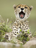 A Cheetah Yawning, Actinonyx Jubatus, East Africa Photographic Print by Joe McDonald