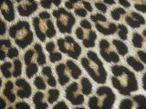 Spotted Pattern of African Leopard Fur, Panthera Pardus, East Africa Photographic Print by Adam Jones