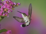 Juvenile Male Ruby-Throated Hummingbird in Flight Near a Flower (Archilochus Colubris), Eastern USA Photographic Print by Adam Jones