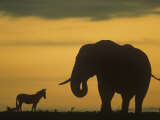 An African Elephant, Loxodonta Africana, and a Zebra at Twilight on the Savanna, Africa Photographic Print by Fritz Polking