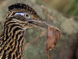 Greater Roadrunner Head with Meat in its Bill, Geococcyx Californianus, Arizona, USA Photographie par Joe McDonald