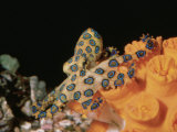 Blue-Ringed Octopus, Hapalochlaena Lunulata, Coral Sea Photographic Print by Alex Kerstitch