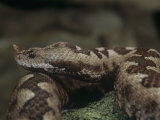 Head of the Long-Nosed or Sand Viper, Vipera Ammodytes, Central Europe Photographic Print by Joe McDonald